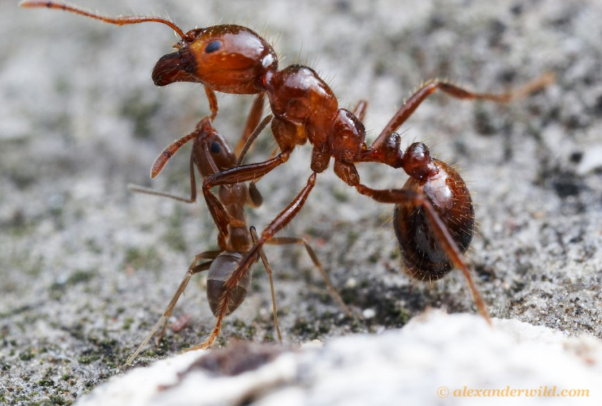 argentine ant vs fire ant